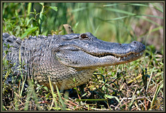Chubby Cheekers (WanaM3) Tags: eye nature nikon texas gator reptile wildlife alligator lizard bayou scales pasadena canoeing he predator paddling alligatormississippiensis clearlakecity d7100 horsepenbayou wanam3 nikond7100