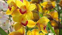 o r c h i d s ( Graa Vargas ) Tags: orchid flower orquidea graavargas cymbidiumxhybridum cimbdio 2016graavargasallrightsreserved 15307070716