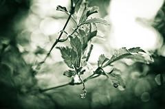 Bokehless (Auensen) Tags: plant green water leaves wow droplets nice nikon focus dof bokeh july sigma clear adobe massive sharpen lovely speechless lightroom 2011 sigma50mmf28 nikond7000