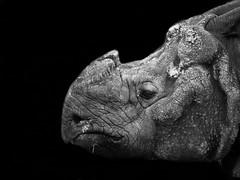 rhino (westhues) Tags: blackandwhite bw pen olympus rhino schwarz nrnberg nashorn weis 14150mm epl1 mygearandme