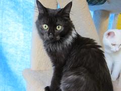 Spike! (Goathouse Refuge) Tags: black male kitten kittens spike smoky