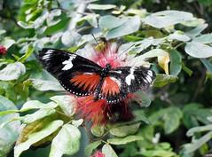 butterfly garden-03 (Quetzalcoatl002) Tags: amsterdam animals butterfly zoo butterflies tierpark artis artiszoo butterflygarden vlindertuin artisdierentuin