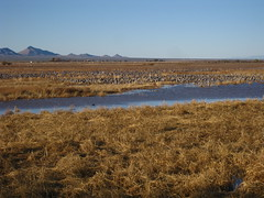 (monte means) Tags: arizona sandhillcranes whitewaterdraw sandhillcranepreserve