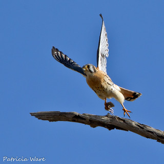 American Kestrel Take-Off with Mouse!