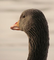 close (Foto Dominic) Tags: animals closeup niceshot goose gans dieren mygearandme mygearandmepremium mygearandmebronze mygearandmesilver hg~sb fotodominic
