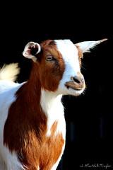 red and white goat (Jen MacNeill) Tags: pet animal photography goat fainting macneill gypsymarestudios jennifermacneilltraylor