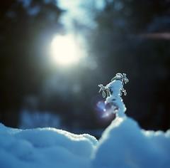 Outlined (universal76) Tags: blue sun snow plant london film leaves frost dof bokeh lightleak bronica flare nophotoshop provia f28 walthamstow 80mm 80a sooc autaut