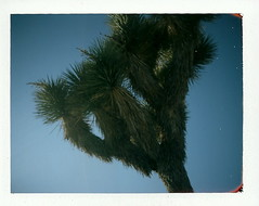 Joshua Tree. (new.brighton) Tags: polaroid joshuatree fuji100 colorpackii