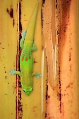 Green Gecko (segamatic) Tags: tree green animal canon eos hawaii banana farms gecko greenwell canonef70200mmf4lisusm 5dmarkii herowinner