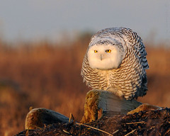 The Hunchback of Boundary Bay (J Bespoy) Tags: morning white canada bird yellow sunrise eyes bc snowy britishcolumbia ngc delta npc raptor owl boundarybay stretching tc14eii allrightsreserved bej specanimal bestofanimals nikkor70200f28vrii onlythebestofnature blinkagain bestofblinkwinners