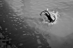 Diving to another World.... (Z A Y A N) Tags: bw water canon photography action dive diving splash conceptual 18mm watersplash 2011 waterripples zayan1904 gettyimagesbangladeshq12012