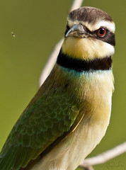 White-throated Bee-eater (  Merops albicollis ) (ALi AL-Qudsi) Tags: white bird birds canon sigma bee ali 50500 abha eater  throated merops     albicollis        alqudsi