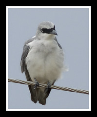 Darwin Bird (Top End Shooter) Tags: outdoor nikond2xs nikon800mm nikonlonglens nikkoredif800mmf8 nikon800mmf8ai nikkorlonglens
