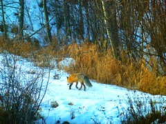 Red Fox: Ambling along ... (peggyhr) Tags: brown sunlight white snow canada golden path alberta harmony grasses bushes poplars redfox vulpesvulpes wow1 wow2 amazingnature 25faves artmix nationalgeographicareyougoodenough peggyhr moonseclipse flickrbronzeaward bluebirdestates myfriendspictures salveanatureza screamofthephotographer 100commentgroup diejahreszeiten artedeluz magicuniverse mygearandme walkinginbeautynaturespathways naturundumwelt betterthangoodlevel1 blinkagain photohobbylevel1 loveforphotographyamorpelafotografia vivalavidalevel1 animalsexposition flickrstruereflection1 brigettesbeautifulnature bbng flickrstruereflections p1120528ap