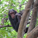 "Adolescent Chimp in Tree <a style=""margin-left:10px; font-size:0.8em;"" href=""http://www.flickr.com/photos/14315427@N00/6505675231/"" target=""_blank"">@flickr</a>"