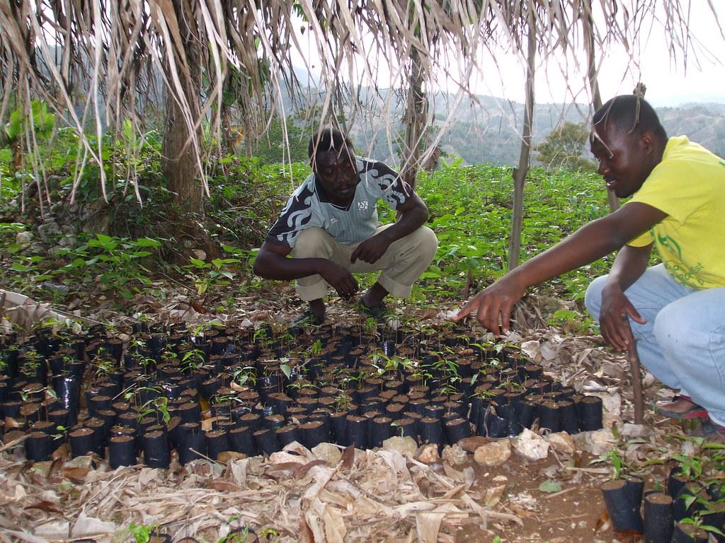 Plantules en pépinière