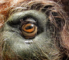 Je te vois... (Suzel...) Tags: brown eye art animal canon oeil beast marron brun grosplan bte minotaure musecinmalyon