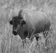 solo bison in B&W (William Miller 21) Tags: nature florida wildlife bison payneprairie