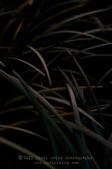 Monkey grass (BLAIR COLBY) Tags: sunset dark lowlight nikon monkeygrass d700