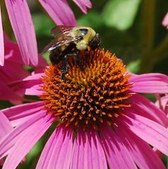 Getting the nectar (afagen) Tags: pink favorite flower arlington virginia washingtondc dc washington memorial 911 bee september11 pollination pentagonmemorial pentgon