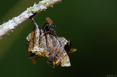 Vespas (Ordem Hymenoptera) (Enio Branco) Tags: brazil macro nature rainforest vespa wasp bees ant natureza bugs bee abelha ants wasps insetos formiga hymenoptera mataatlntica formicidae biodiversidade tapira sonyalpha eniobranco