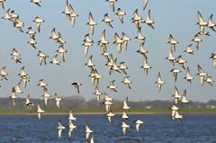 changing the direction (locum60) Tags: birds river nikon vgel fluss elbe d7000