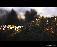 Christmas Hedge Bokeh (Graham_CS) Tags: christmas canon 50mm connecticut canonef50mmf18 xsi canonxsi