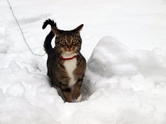 What a Difference a Day Makes! (Tabby Fan) Tags: winter snow hudson snowcat browntabbywithwhitepaws