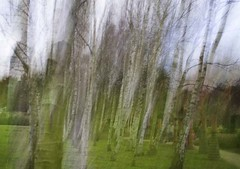 silver birches (Wendy:) Tags: christmas longexposure trees photoshop icm blend 2011 ruffordabbey silverbirches intentionalcameramovement verticalpanning