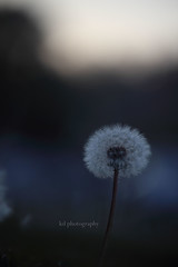 make a wish. (kaitonthekeys) Tags: grass lens dandelion seeds telephoto makeawish