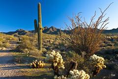 Morning on the trail (doveoggi) Tags: arizona mountains sunrise landscape desert trail scottsdale saguaro sonorandesert ocotillo 4075 mcdowellsonoranpreserve
