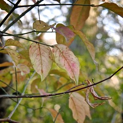 Autumn Leaves with a Casio EX-F1 (1/3) (macpapaja) Tags: autumn macro nature square casio exf1