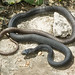 Black Phase Eastern Coachwhip