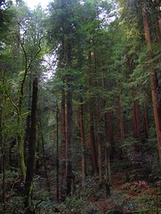 Canopy of Green (beanhead4529) Tags: california trees nature northerncalifornia muirwoods redwoods norcal olympuspen muirwoodsnationalmonument coastalredwoods mft microfourthirds 20mmpanasonic olympusepl1
