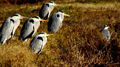 conformisti (Michele -) Tags: birds bentivoglio aironi larizza cnerino