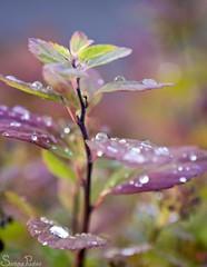 20110922_27386b (Fantasyfan.) Tags: autumn red plant macro green water colors rain topv111 finland drops helsinki violet pohjoishaaga fantasyfanin siirretty