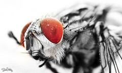 The eye. (sherif.mohyeldin) Tags: red blackandwhite color macro eye closeup canon bug insect 50mm fly sharp selective reversering 60d challengeyouwinner