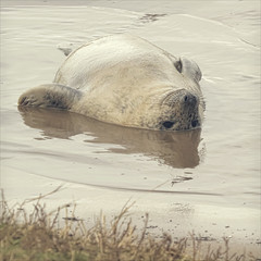 relaxation personified (Black Cat Photos) Tags: uk sea england reflection cute beach nature wet water smile animal blackcat relax happy photography photo europe wildlife reserve m northumberland seal float relaxation chill personified greyseal donnanook blackcatphotos