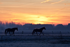 - 17/366 - (Pieter D) Tags: sky horses horse orange sunrise landscape fire 365 day17 366 project365 pieterd project366 mostly365 3662012 365the2012edition 17012012