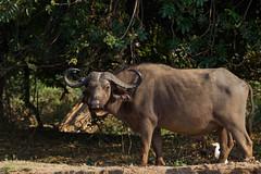 Cape Buffalo (Hector16) Tags: buffalo zambia capebuffalo cattleegret synceruscaffer chiawa lowerzambezi lowerzambezinationalpark
