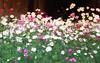 "I love cosmos !! (HamimCHOWDHURY  [Read my profile before you fol) Tags: life pink blue red portrait white black green nature yellow canon eos colorful purple faces sony gray magenta violet surreal ash dhaka vaio rgb 70200 bangladesh cosmos dlsr multicoloredflower 60d ramnapark ""gettyimages"" 595036 gettyimagesbangladeshq3' ""framebangladesh"" ""incrediblebengal"" gettyimagesbangladeshq12012"