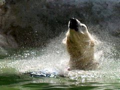 """Come on in! The Water's Fine."" (Eddie C3) Tags: nyc newyorkcity animals bronx polarbear bronxzoo animalplanet tundra zoos wildlifeconservationsociety"