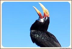 Hornbill (Isabel Fagg) Tags: birds vogels hornbill oiseaux avifauna neushoornvogel