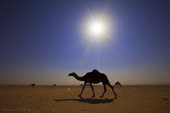 Under the sun (TARIQ-M) Tags: sun sunlight landscape desert camel  camels riyadh saudiarabia    canoneos5d          ef1635mmf28liiusm canoneos5dmarkii
