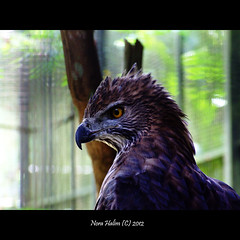 the eagle (nora2810) Tags: bird nature eagle fugl dyr burung binatang fujifilmfinepixs9500 birdperfect