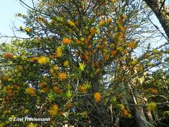 Desmaria mutabilis (Chilebosque) Tags: amarillo mutabilis loranthaceae quintral parsitas desmariamutabilis desmaria