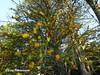 Desmaria mutabilis (Chilebosque) Tags: amarillo mutabilis loranthaceae quintral parásitas desmariamutabilis desmaria