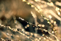 20120125_F0001_2400: Glittering frost photo with strands of spider silk flopping in the air (wfxue) Tags: winter sun sunlight plant cold macro ice nature spider frost branch crystal bokeh web spiderweb silk sparkle spidersilk