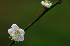 IMG_6009 (Sandor's Album) Tags: flowers flower blossom plum hsinchu taiwan       nationaltsinghuauniversity drmeimemorialgarden