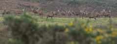 I guess you could call this a stag party ;o) (devonteg) Tags: wild panorama nikon heather january bracken reddeer 2012 exmoor stags gorse 70300 d80 dickyspath devontegsignsofwinterassignment